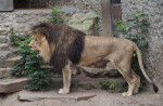 Side View of Standing Male Lion