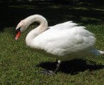 Side View of Swan