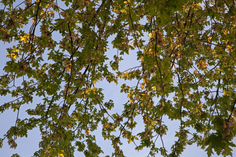 Silver Maple Branches Against a Light-Blue Sky