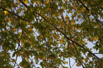 Silver Maple Branches, Leaves, and Samaras