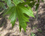 Silver Maple Leaf
