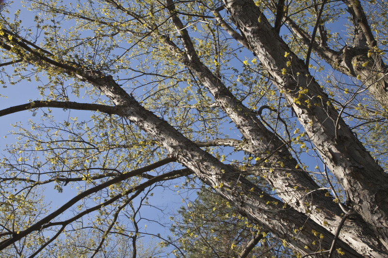 Silver Maple Tree's Branches with Few Leaves