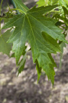 Silver Maples Leaves