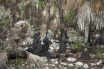 Silver Palms Survive Prescribed Burn