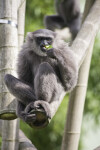 Silvery Gibbon Eating