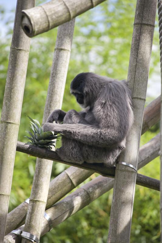 Silvery Gibbon Sitting
