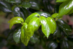 Simple, Glossy, Light-Green Burford Holly Leaves