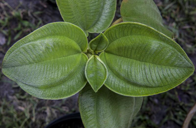 Simple, Ovate, Silverleafed Princess Flower Leaves