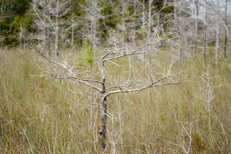 Single Dwarf Bald Cypress