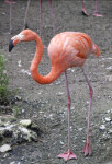 Single Pink Flamingo