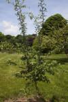 Singleseed Hawthorn Tree