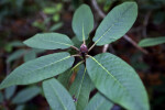 """Sir Charles Lemon"" Rhododendron Leaves"