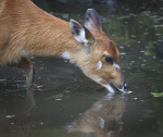 Sitatunga Drinking Water at the Artis Royal Zoo
