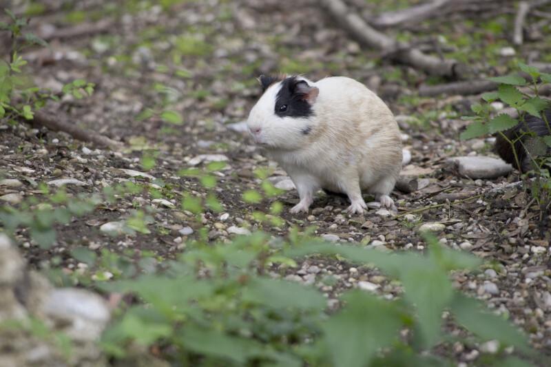 Sitting Guinea Pig