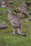 Standing Kangaroo at the San Francisco Zoo