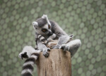 Sitting Lemurs