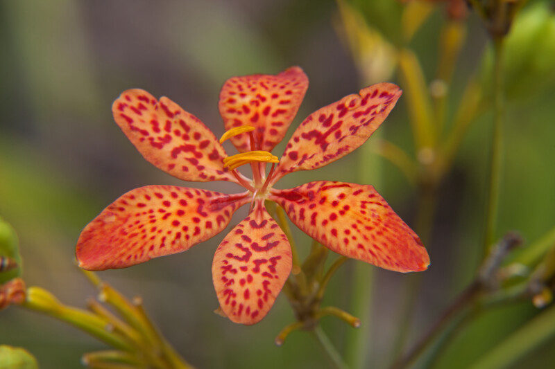Six Spotted Blackberry Lily Petals