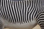 Skin of a Grevy's Zebra (Equus greyvi)