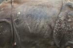 Skin of Indian Rhinoceros