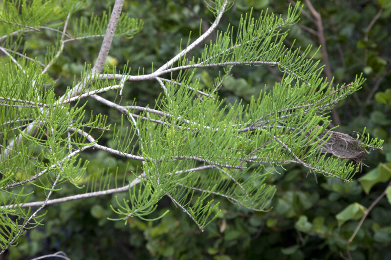 Skinny Bald Cypress Leaves Pointing Upward