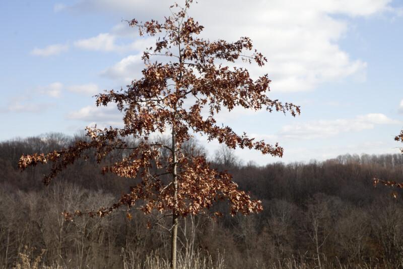 Skinny Oak Tree with Brown Leaves