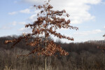 Skinny Oak Tree with Brown Leaves