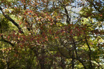 Skinny Sassafras Branches with Red and Green Leaves