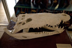 Skull of an American Crocodile on Display at the Flamingo Visitor Center of Everglades National Park