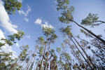 Sky and Saw Palmettos