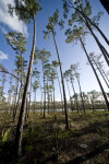 Slash Pine Trees