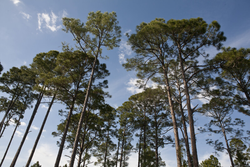 Slash Pines Against Light Blue Sky