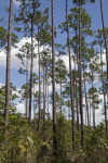 Slash Pines Amongst Shrubs at Long Pine Key of Everglades National Park