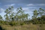 Slash Pines and Sawgrass