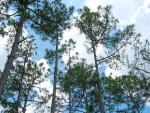 Slash Pines and Sky