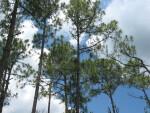 Slash Pines at Corkscrew
