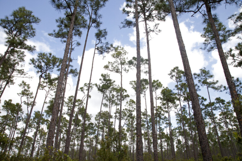 Slash Pines at Long Pine Key of Everglades National Park