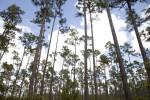 Slash Pines at Long Pine Key of Everglades National Park