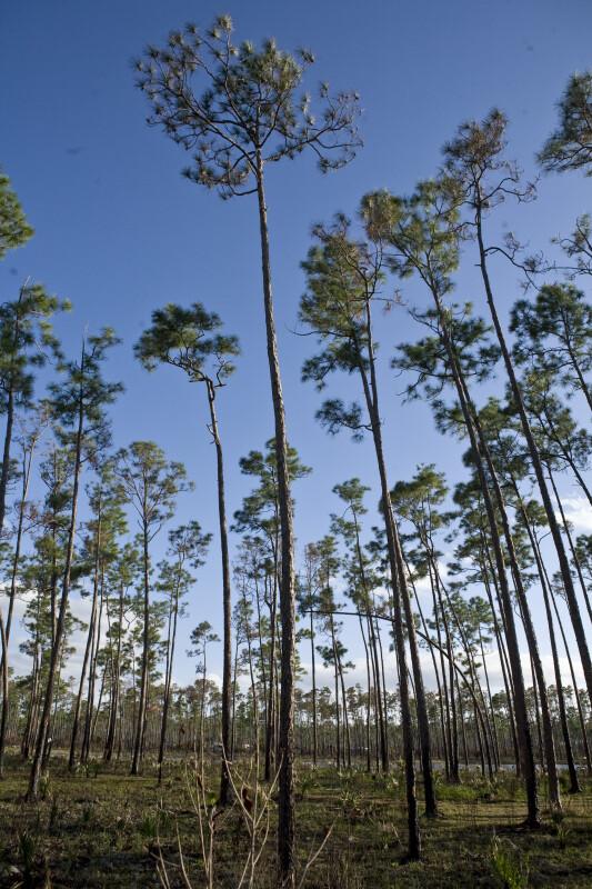 Slash Pines at Long Pine Key