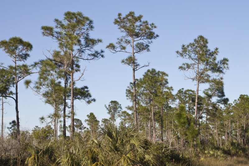 Slash Pines in a Field at the Big Cypress National Preserve