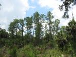 Slash Pines in Distance