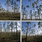 Slash Pines photographs