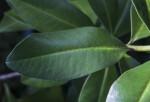 Slender Colicwood Leaf