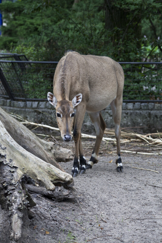 Slender Mammal with Head Lowered