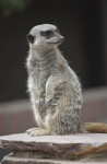 Slender-Tailed Meerkat on Sentry Duty at the Artis Royal Zoo