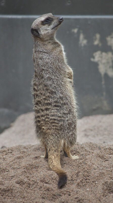 Slender-Tailed Meerkat Standing on its Hind Legs