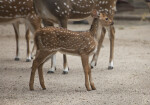 Small Axis Deer Standing