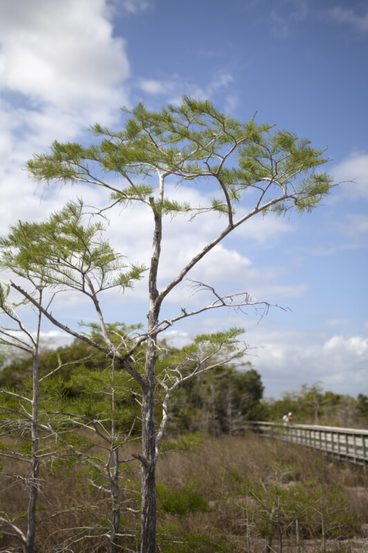 Small Bald Cypress Trees Growing near Boardwalk at Pa-hay-okee Overlook of Everglades National Park