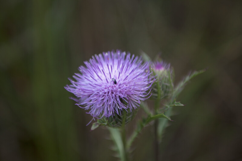 Small, Black Bug in Center of a Thistle's Flower