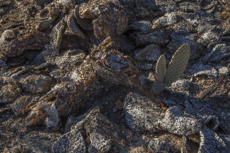 Small Cactus Paddles Growing out of Rotted Desert Plants