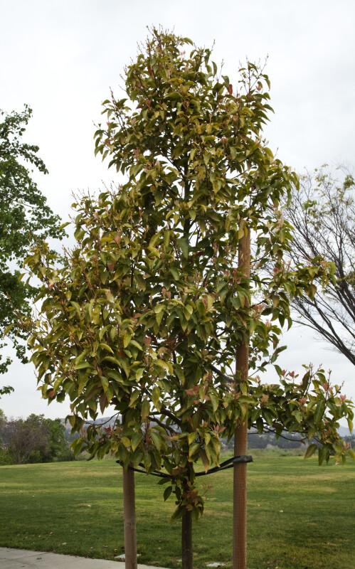 Small Camphor Tree at Martha McLean – Anza Narrows Park